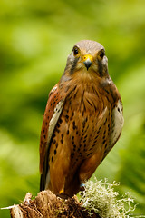The Look (zarlock81) Tags: birds scotland wildlife falcon balloch lochlomond kestrel schottland falcotinnunculus commonkestrel turmfalke vereinigtesknigreich