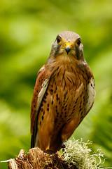 The Look (zarlock81) Tags: birds scotland wildlife falcon balloch lochlomond kestrel schottland falcotinnunculus commonkestrel turmfalke vereinigtesknigreich