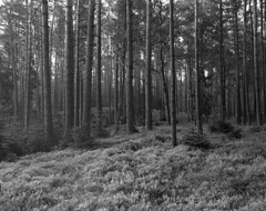 Time for berries! (Other dreams) Tags: trees bw film pine analog forest landscape woods pentax hiking poland 6x7 rodinal ilford pomerania nofilter unedited delta400 tucholskie existing 4575 tuchola