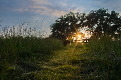 The way up to the sun (#explore 8-7-2016) (marielledevalk) Tags: blue sunset sun green reed grass sunshine yellow fence path country hff