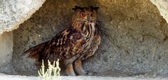 Oehoe (Meino NL) Tags: france owl frankrijk camargue oehoe bubobubo saintesmariesdelamer uil bouchesdurhone provencealpesctedazur parcnaturelrgionaldecamargue leparcornithologiquedepontdegau oehoes