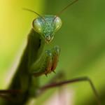 Mantis Religiosa thumbnail