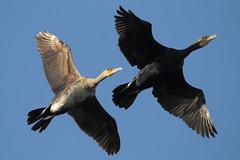 Cormorant (Phalacrocorax carbo) (sdflickr2) Tags: water flying cormorant warwickshire draycote