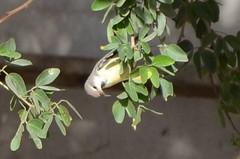 Sun Bird 10 (philjbtorres) Tags: bird yellow photography nikon sunbird yellowbird smallbird yellowbelliedsunbird nikond5100