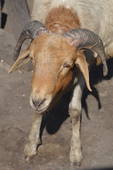 West_Africa-082jc (ianh3000) Tags: africa west harbour goat ghana jamestown accra