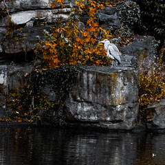 City-centre heron (Steve-h) Tags: park november autumn ireland dublin orange white black bird heron nature water rock standing reflections grey fishing pond autumnleaves perch citycentre allrightsreserved ststephensgreen 2014 steveh greatgreyheron canoneos5dmkii canonef100mmf28lmacroisusm explorelastsevendaysinteresting