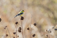 _MG_0791.jpg (pknight45) Tags: birds places americangoldfinch bakerwetlands