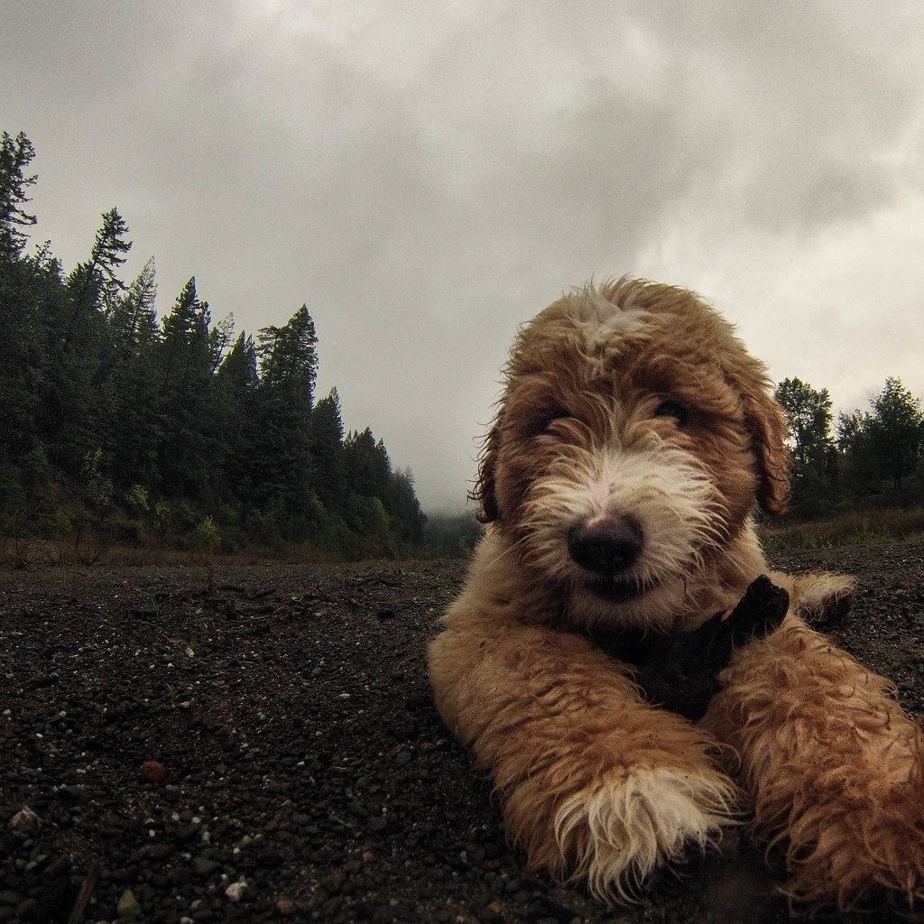 The World's Best Photos of goldendoodle and hiking - Flickr
