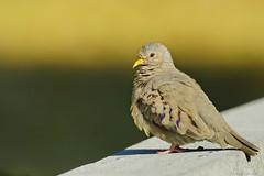 Common Ground Dove (not on the ground) (RKop) Tags: caladesiislandstatepark florida 704000gssmsony handheld a77mk2 raphaelkopanphotography 70400gssmsony sony