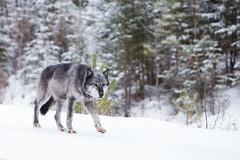 Grey Wolf in Canada (brendanvanson) Tags: winter wild snow canada nature animal nationalpark wolf jasper wildlife alberta jaspernationalpark dogfamily greywolf