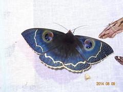 Erebus albicincta obscurata (Wileman, 1923) (Moths of Wangxiang) Tags: erebus moth taiwan  moths   nantou  erebidae erebinae obscurata   wangxiang albicincta