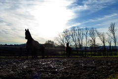 new year's animals (erix!) Tags: trees horses nature countryside pferde bume corral newyearsday