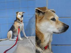 Tikus (Immature Animals) Tags: blue arizona rescue dog wall tucson small marshall foster derek medium volunteer adopt tikus adoptable sized barktucson