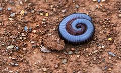 Shongololo (Sheldrickfalls) Tags: southafrica millipede mpumalanga shongololo lydenburg chongololo kuduranch kuduprivatenaturereserve kudugameranch
