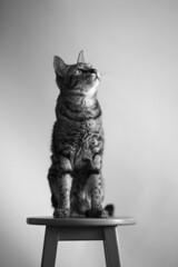 Hana (rampx) Tags: blackandwhite bw zeiss cat availablelight tabby hana neko   miaw zf2 aposonnart2135
