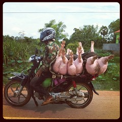 Three little pigs (Lil [Kristen Elsby]) Tags: topf25 topv2222 square cambodia motorbike squareformat hudson threelittlepigs battambang batdambang iphoneography instagram instagramapp uploaded:by=instagram thingsonamotorbike