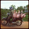 Three little pigs (Lil [Kristen Elsby]) Tags: topf25 square cambodia motorbike squareformat hudson threelittlepigs topv3333 battambang batdambang iphoneography instagram instagramapp uploaded:by=instagram thingsonamotorbike