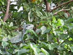 Green iguana hiding (s_andreja) Tags: france island caribbean guadeloupe saintfrancois