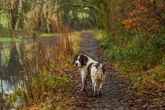 Muddy Walk (trevorhicks) Tags: winter dog canon canal path walk devon tamron tavistock 70d