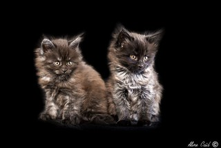 Main Coon chatons