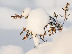 Fleurs dans la neige (sosivov) Tags: flowers winter white snow flower macro forest sweden heather bruyère