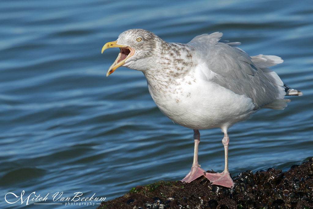 Loud Mouth (Herring Gull - Winter Plumage)
