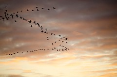 Sunset, December 29, 2014 (Pahz) Tags: winter sunset red sky orange cloud cold bird nature birds wisconsin clouds landscape evening geese scenery scenic goose migration goldenhour migrating 55200nikkor nikond5100