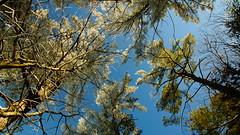 look up sometimes (Wil James) Tags: blue trees winter sky snow ontario ice brrrr sonya77