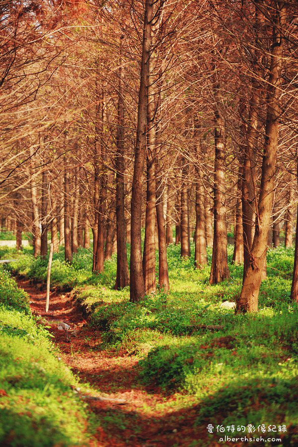 桃園八德.落羽松森林