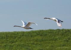knobbelzwaan (Cygnus olor) (vion_jurgen) Tags: swan muteswan cygnusolor zwaan knobbelzwaan