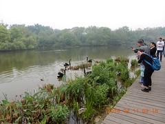 2016_04_11 439 (Gwydion M. Williams) Tags: china chengdu swanlake sichuan blackswan pandas blackswans giantpandareserve