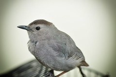 Survivor :) (Igor Danilov) Tags: life bird home live gray lucky frightened catbird
