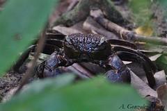 Cangrejo trepador / Climbing Crab (Episesarma sp.) (avgomo) Tags: fauna singapore crab singapur crustaceans cangrejo crustáceos