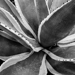 Agave (Thad Zajdowicz) Tags: pasadena california zajdowicz leica availablelight lightroom outdoor outside abstract fineart plant flora succulent agave blackandwhite bw black white monochrome