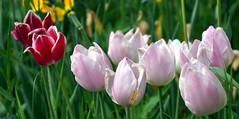 Tulips in Bayerisch Eisenstein (WeatherMaker) Tags: mountain mountains germany bayern bavaria bayerischerwald