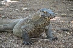 Komodo Dragon (Varanus komodoensis) (Seventh Heaven Photography) Tags: park indonesia island dragon reptile wildlife monitor lizard national indonesian komodo nikond3200 varanus komodoensis varanuskomodoensis