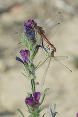 Sympetrum fonscolombii's mating 2016 (jrosvic) Tags: macro closeup spain dragonfly libelula cartagena odonata copula sympetrumfonscolombii nikon300mmf4 nikond7100