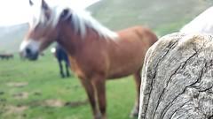 La tenerezza di un'anima selvaggia ! (carlini.sonia) Tags: italy verde italia sonia brezza prato montagna cavallo umbria vento norcia castelluccio sibillini terreni