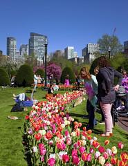 Boston's Tulip Season (Ayush Bhandari) Tags: flowers sky usa public boston skyline garden season colorful weekend massachusetts tulip bostoncommon fujix100t