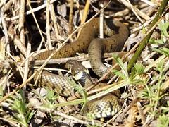 Grass Snake, Otmoor, Oxfordshire, 14 May 2016 (AndrewDixon2812) Tags: grass snake culebra oxfordshire rspb beckley otmoor couleuvre natrixnatrix snok rantakrme