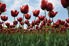 (chikache) Tags: flowers nature beautiful japan ilovenature spring nikon warmth sigma tulip bloom gifu d300 kaizu