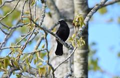 Red-Winged Blackbird (careth@2012) Tags: nature wildlife beak feathers redwingedblackbird