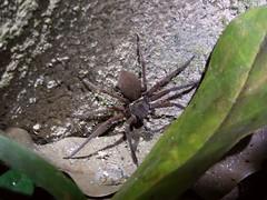 Khao Sok NP (Night Safari), Thailand (Jan-2016) 15-004 (MistyTree Adventures) Tags: nature night insect thailand spider seasia outdoor khaosok nightsafari panasoniclumix khaosoknationalpark