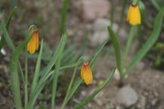 Wildflowers (cbmtax) Tags: nature nationalpark spring wyoming wildflower grandteton