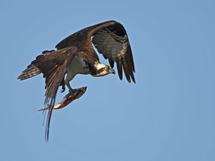 Osprey with Large Fish (Brian E Kushner) Tags: new lighthouse fish bird water birds animals river lens point ed flying nikon maurice wildlife birding flight large east watershed jersey fl nikkor vr osprey afs d5 pandionhaliaetus birdwatcher delawarebay 800mm nikond5 heislerville bkushner nikonafsnikkor800mmf56efledvrlens f56e tc800125eed tc800125e brianekushner