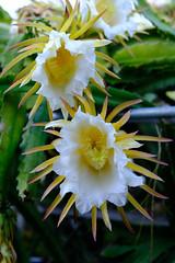 DSCF0393.jpg (rnakama_photos) Tags: dragonfruit cereus pitaya dragonfruitflower pitayaflower xpro2