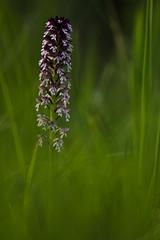 Brandknabenkraut (Strup_pix) Tags: blur orchid flower macro green nature nikon bokeh natur pflanze grn orchidee makro sigma105mm