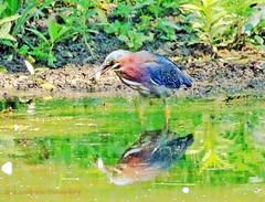 Green Heron With Fish (rumerbob) Tags: bird heron nature wildlife birdwatching birdwatcher lakegalena naturephotography peacevalleypark greenheron birdphotographer canon100400mmlens canon7dmarkii