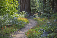 Path To Paradise (socaltoto11) Tags: highsierras bigtrees hiddenpaths wildflowers paradise sequoiatrees dreamscapes dreamy daydreaming purplewildflowers redwildflowers light forests giantsequoias giantforest westcoast westcoastlandscapes westernlandscapes westcoastmountainranges canonphotography california californialandscapes californiamountainranges colorful