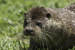 Wet otter (labprim8) Tags: europeanotter britishwildlifecenter